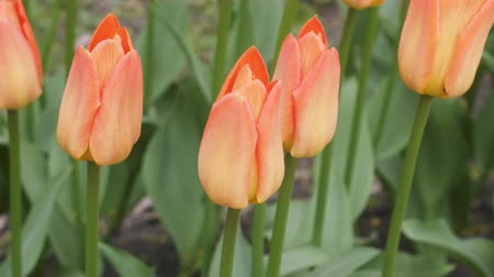floriculture : Red tulips remind in bun fingers hands (fingers beam) in flowerbed Stock Footage
