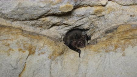hibernation : Brandts bat ( Myotis brandti) peeps out of hole in cave Stock Footage