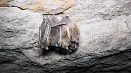 bat : Bats as inhabitants of caves and dungeons, speleobios, wing-handed animals, cheiropterous animals. Pond bat (Myotis dasycneme) is sleeping. In North area hibernation in winter in groups, cave-dwellers
