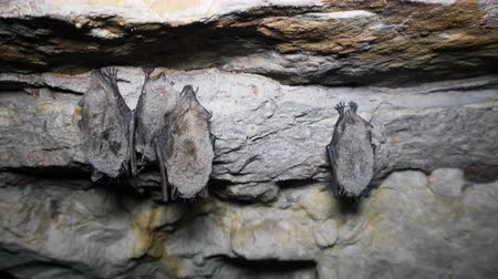 nietoperz : Group of Whiskered bats (Myotis mystacinus) hibernate (winter slumber) in cave hang upside down and covered with dew