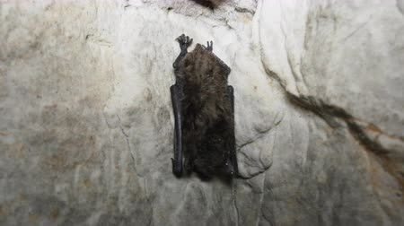 taranmamış : Pond bat (Myotis dasycneme) sleep in cave, close-up