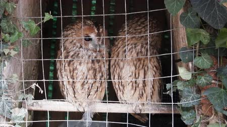 cativeiro : Animals in captivity. Pair of owls (Scops owl) in small private zoo, Freedom birds, bird in cage - animal protection; wildlife protection Vídeos
