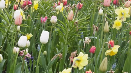 floriculture : Bed of lilies, tulips, lupine, narcissus. Birds grass, late spring, daffodils yellow flowers