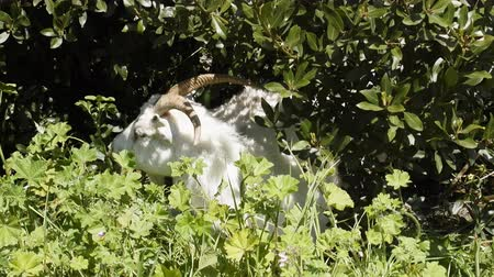 brute : White goat eats bushes and meadow grass. Close up Stock Footage