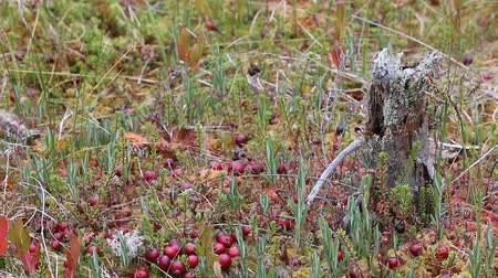 frenk üzümü : American cranberry, marsh cranberry (Oxycoccus macrocarpus) in swamp, many large berries on moss pillow. Elements of virgin nature and black crowberry in background. Harvesting berries