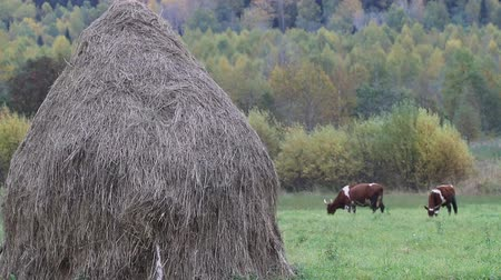 mow : Hay harvesting for private sector (small farm). Stack of dry hay and two colorful cows are fed on hayfield