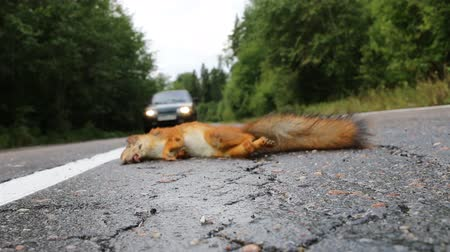 motoring : Adult squirrel hit by car on paved forest highway. Car as cause of death of many millions of mammals every year. Сar rides on opposite lane near corpse of squirrel