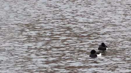 luto : Two male Tufted ducks (Aythya fuligula) in gorgeous contrasting black and white plumage. Wedding dress, breeding plumage birds. Spring, cold water, snow. Mourning clothes