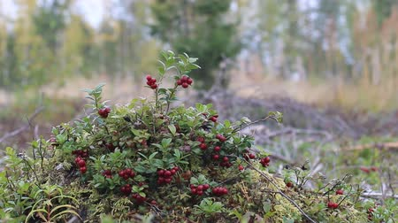 spousta : Good crop of cowberry (Vaccinium vitis). Shrub cranberries on bump in middle of old forest felling, phytocenosis. Lots of ripe red berries. Yellow birch trees in background. Autumn landscape Dostupné videozáznamy