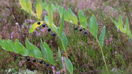 wrzos : Autumn. Among still blooming Heather ripe blue berries of Eurasian Solomons seal (Polygonatum multiflorum), dew morning Wideo