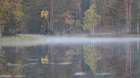 tremble : Autumn in Northern coniferous forest. Yellow birches reflect and tremble in waters of quiet forest lake. Misty morning