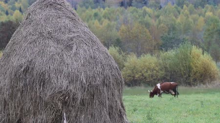 hay cock : Autumn in village. Hay dried up and folded in stack. Cows graze in Hayfield
