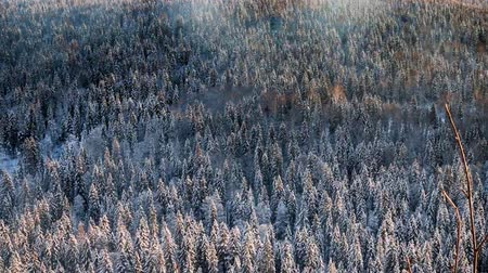 softwood forest : Taiga, dense marshy forest in Siberia. Top view of Northern coniferous forest with predominance of Siberian spruce in winter Stock Footage