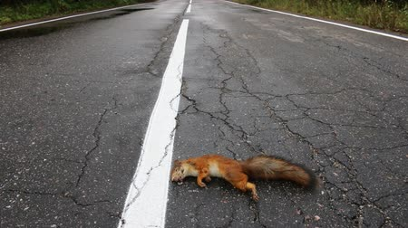 motoring : Adult squirrel hit by car on paved forest highway. Car as cause of death of many millions of mammals every year Stock Footage
