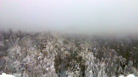 softwood forest : Forest is covered with snow in frosty fog. Siberian forests and Siberian frosts