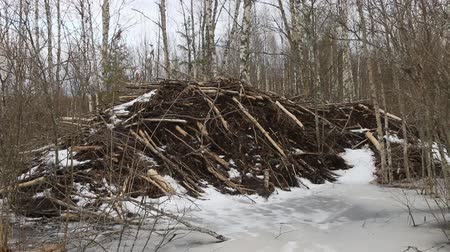 upstream : Beavers in winter. Beavers built lodge more than two meters high, entrance to house is under ice Stock Footage