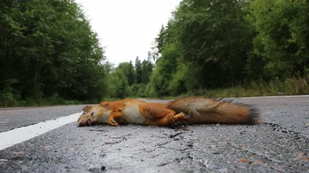 sciurus : Adult squirrel hit by car on paved forest highway. Car as cause of death of many millions of mammals every year Stock Footage