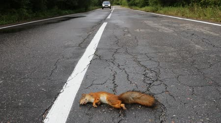 wiewiórka : Adult squirrel hit by car on paved forest highway. Car as cause of death of many millions of mammals every year, car drives near victim
