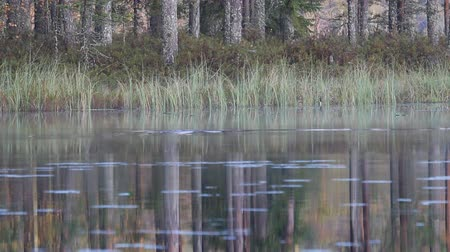alfândega : Autumn misty lake with diving wild duck Goldeneye. Quiet lake in North woods. In background bulrush