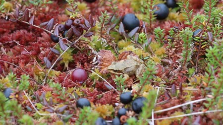 žába : Tiny frog on bog among moss, cranberries and crowberry in autumn day Dostupné videozáznamy
