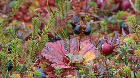 žába : Tiny frog on bog on leaves of cloudberry among moss, cranberries and crowberry in autumn day