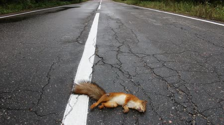 ölen : Adult squirrel hit by car on paved forest highway. Car as cause of death of many millions of mammals every year Stok Video