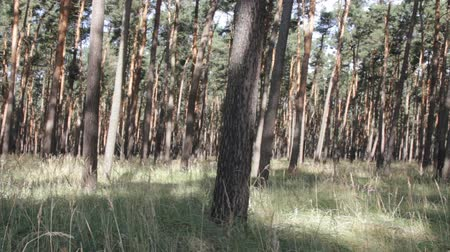 softwood forest : Summer day in pine forest. Transparent pinewood with dappled sunlight. Thickets of cereals among trees - grass pine forest, littoral area Stock Footage