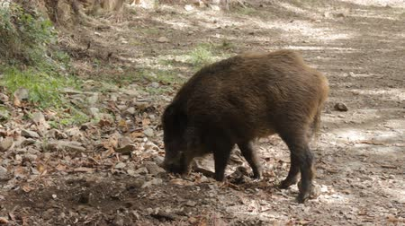 копытный : Wild boar (Sus scrofa) digs snout acorns in woods, beast copes well with task despite rocky soil, forestry aspect. Big game hunting for hoofed mammals, ungulates, game husbandry