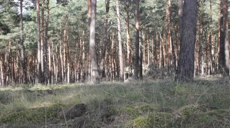 softwood forest : Central European forests. Old natural pine forest in Germany.