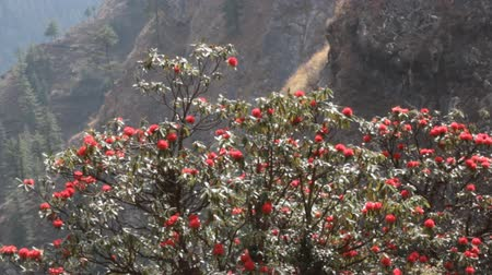 rhododendron : Flowering bushes, red inflorescences and leaves shining in oblique rays of sun - tree rhododendron (Rhododendron arboreum). Spring in Himalayas. Kullu valley. National symbol of Nepal