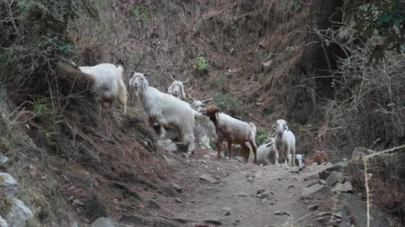 dikenli : Pashmina sheeps. Sheep and goats on hillside. India. Kullu valley. Himalayas.