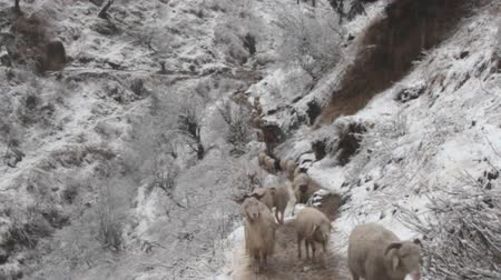 subtropical : Sheep move in single file along mountain trail. Rare filming. Snow fell in subtropical Himalayan valley for first time in decade, snow-covered mountain slopes Stock Footage