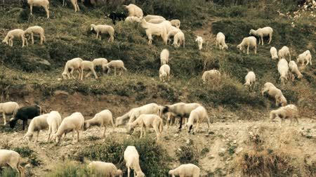 koyun : Sheep are fed on hillside, slopes of mountains with sheep trails. India. Kullu valley. Himalayas Stok Video