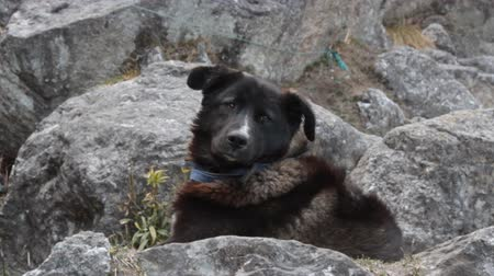 cosiness : Black dog resting on cliff ledge. Dogs Of The Himalayas Stock Footage