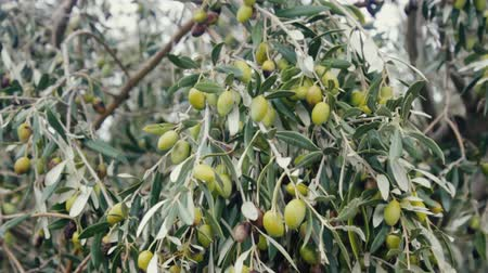 horticulture : Olives time of autumnal maturity. Part of olive green, part black, branches and fruit. Olive groves in Catalonia. Olives and pickles are good appetizers, virgin olive oil. Evergreen shrub