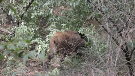 глыба : Wild boar (Sus scrofa) Wild boar breaks into bushes branches as food object, or object of shifted aggression or as material for daytime nest. Forestry aspect Стоковые видеозаписи