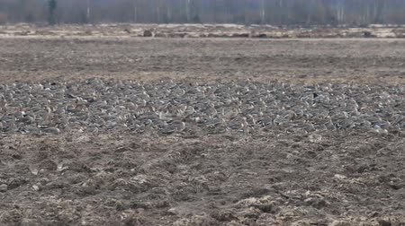 rookery : Many Wild geese resting on plowed field. Pay attention to protective coloring of birds, these birds do not differ from clods of earth in color and shape, their presence gives only movement