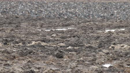 кампания : Plowed for winter field (tillable land; tilled area) was freed from snow. Indicator of film move is flock of resting wild geese in background