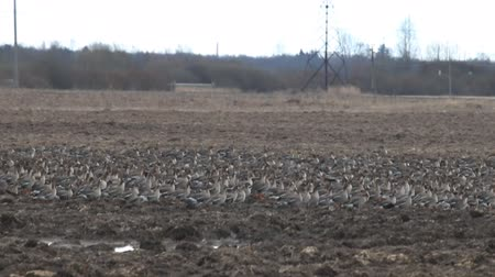 rookery : Magnificent picture of simultaneous take-off of thousands of wild geese, ruffle in eyes of their wings. Migratory geese (bean goose and white-fronted goose) sitting on plowed field Stock Footage