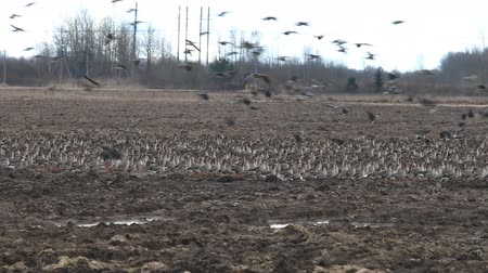 migratory birds : Birds and agriculture. Thousands of geese (bean goose and white-fronted goose) landing in plowed field. Migration and migration stops (stop-over). Abundance of birds can be harmful to farming