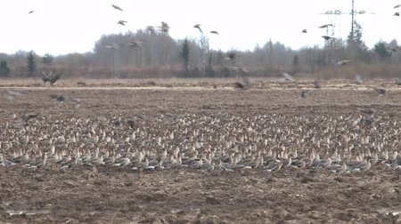 rookery : Birds and agriculture. Thousands of geese (bean goose and white-fronted goose) landing in plowed field. Migration and migration stops (stop-over). Abundance of birds can be harmful to farming