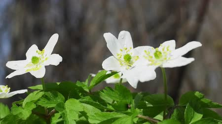 europaeus : Wood Anemones (Anemone nemorosa) in typical light forest, first spring flowers. White forest flowers in dew drops