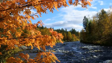 üvez ağacı : Northern autumn on mountain river. Beauty of autumn through script Rowan red leaves. Lapland Stok Video