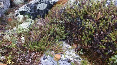 liken : Piece of mountain tundra in autumn - mosquitoes spinning, black crowberry (Empetrum nigrum), cloudberry, reindeer moss and lichen parmelia on boulder fields Stok Video