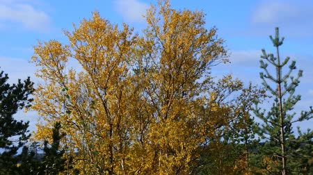 zdrada : Height of fall in Northern forests. Mixed forest in yellow leaves spots Wideo