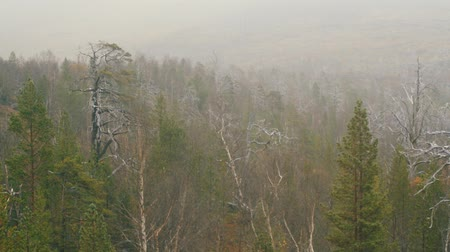vernal : morning, fog slowly floats over forest. dying coniferous wood Stock Footage