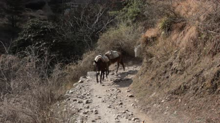 szamár : Loaded mules (equus mulus) and donkeys coming along a mountain path. Caravan of mules, baggage animal, anciet freight hauling. Himalayas