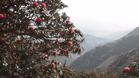 krzew : Ghostly outlines of mountains and flowering tree rhododendron. Foggy and blooming Himalayan valleys. Spring in the valley of Kullu, India
