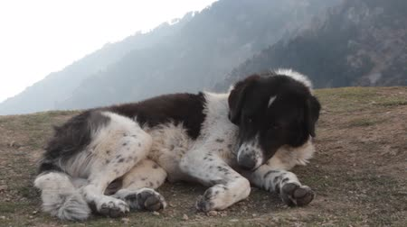 juhászkutya : Herding dog in the Himalayas. Pooch resting on a hilltop amid misty mountains, sheepdog, sheepdog; working dog, herder,