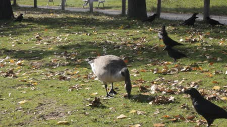 migração : Migrating and wintering Canadian geese (Branta canadensis) on lawns and ponds of European cities and black crows. Synantropization wild birds because of lack of hunting and persecution